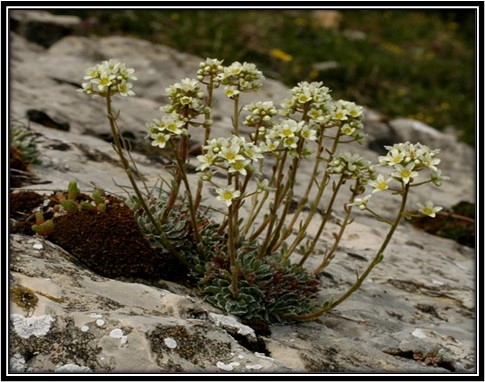Saxifraga paniculata subsp. laestadii
