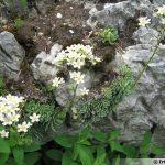saxifraga-paniculata-3