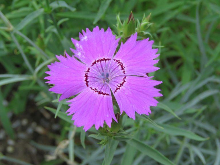 Dianthus amurensis 'Siberian Blues'